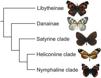 A simplified butterfly taxonomy